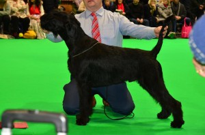 Ragnar Crufts 1st Junior Dog